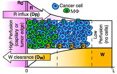 Lactic acid accumulation in the core of solid tumors can be harmful to macrophages