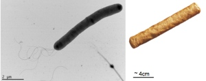 frik cell on the left and the dutch frikandel on the right. Remarkable similarity.